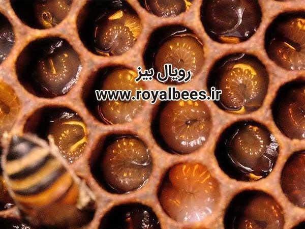 روش جمع آوری ژل رویال زنبور عسل