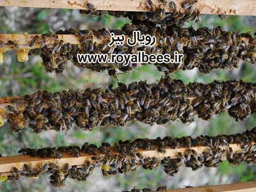خواص غذای ملکه زنبور عسل