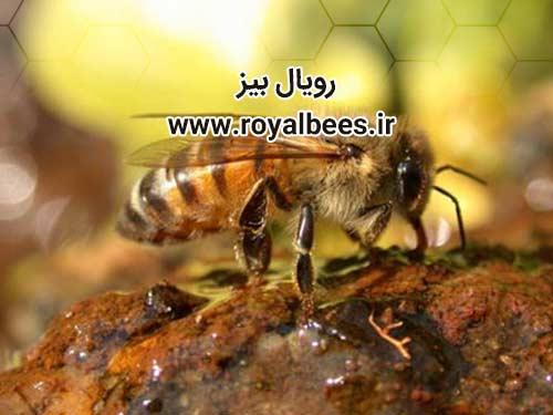 محل خرید فروش بره موم اصل در اصفهان کجاست؟