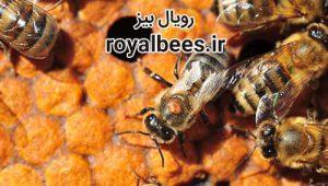 داروی کنه زنبور